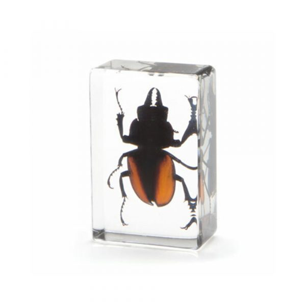 Evolution Stag Beetle In Resin